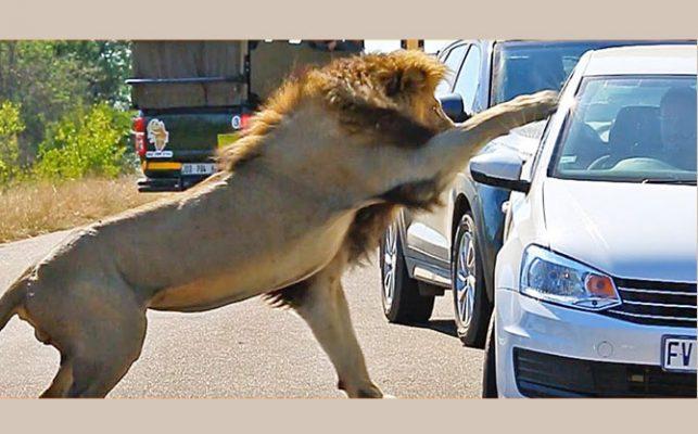 Lion-Quickly-Attacks
