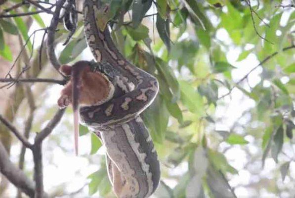 Python-eat-Possum