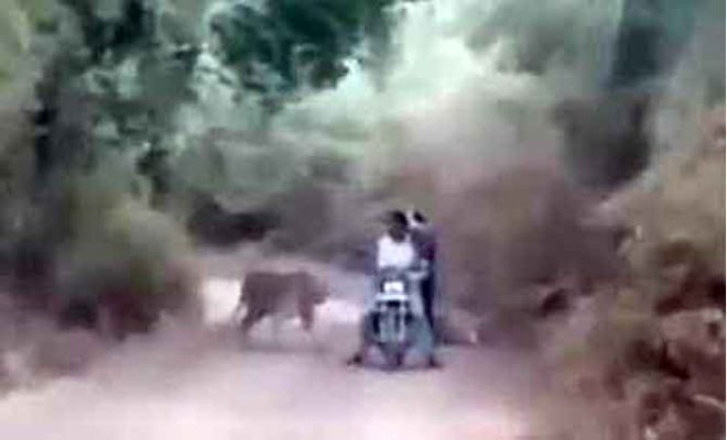 bikers-caught-2-tigers