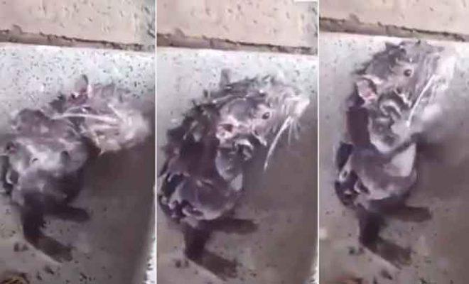 rat-taking-shower
