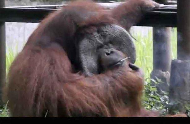 Orangutan-smokes-